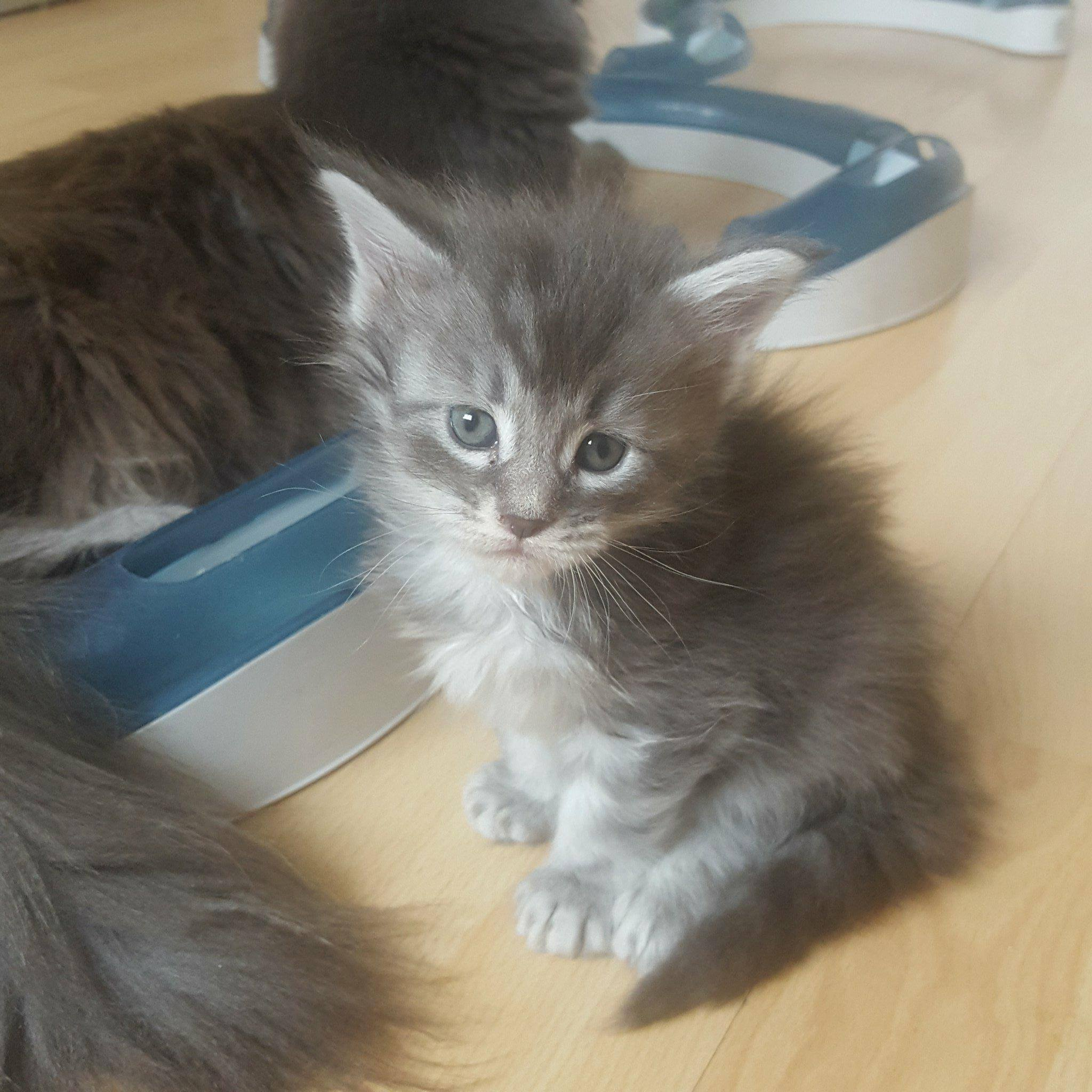 chaton maine coon femelle