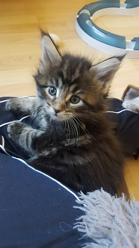 chaton maine coon male