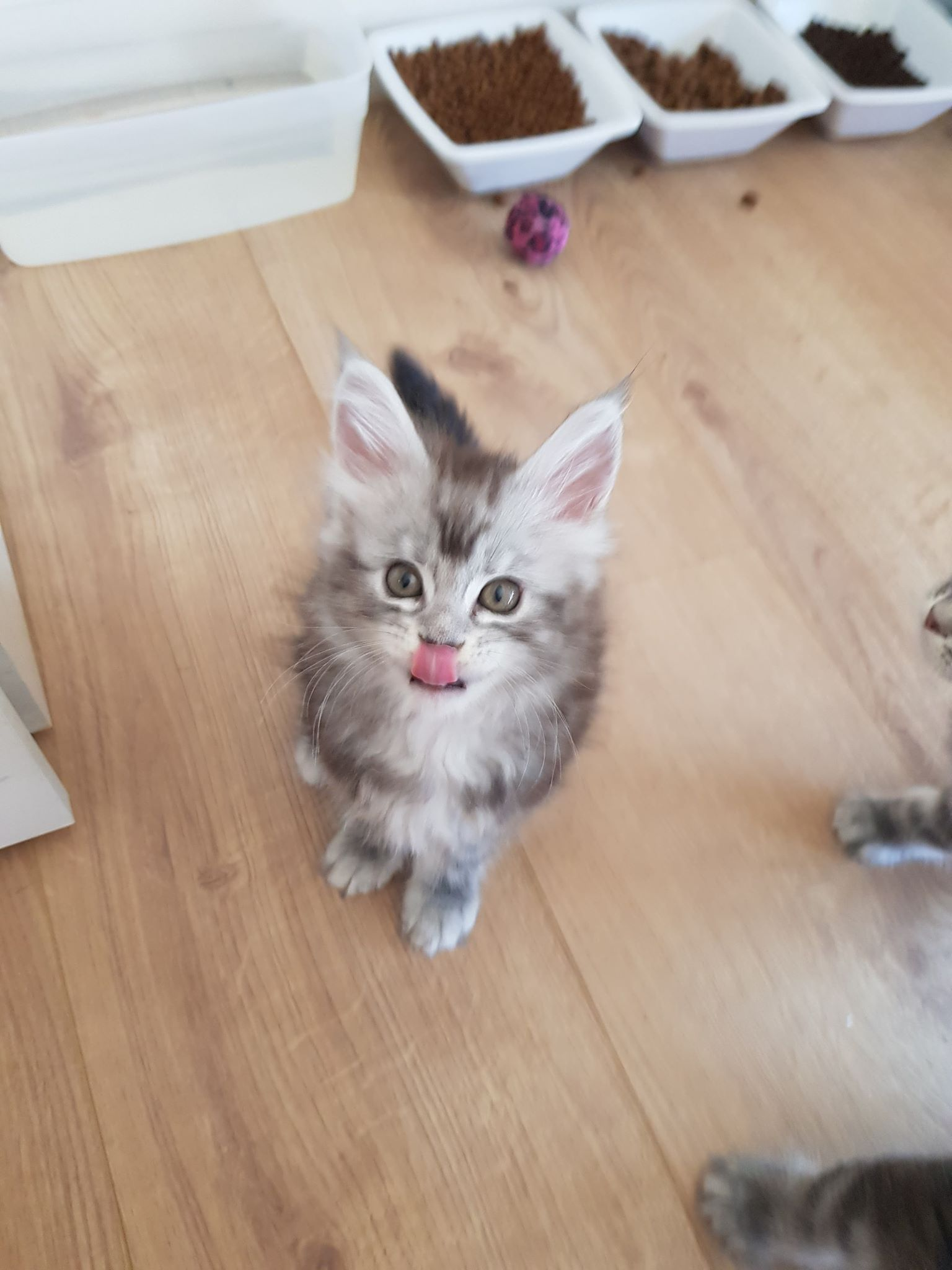 chaton maine coon female