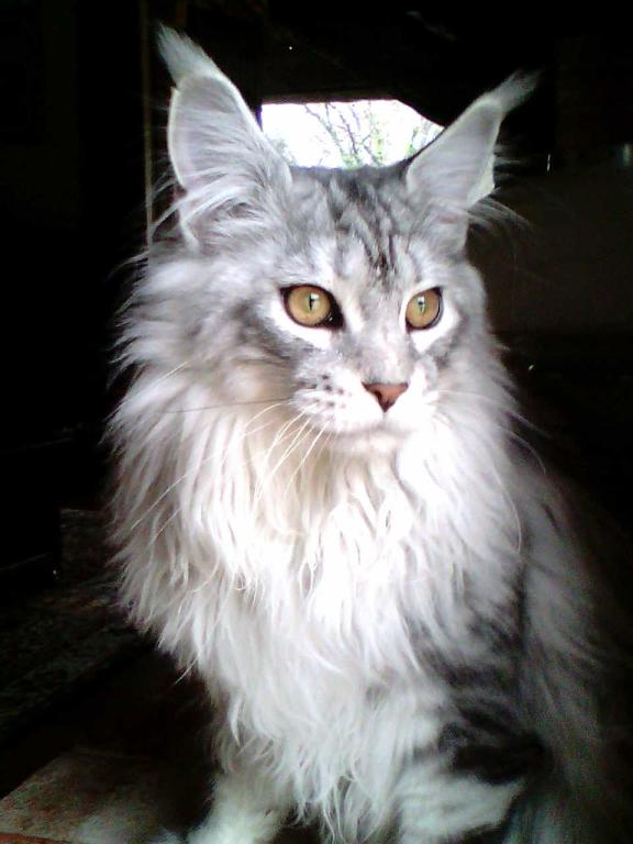 Lux maine coon male