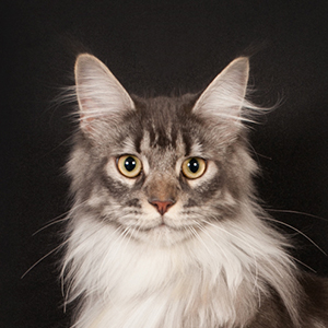 Ivy femelle maine coon