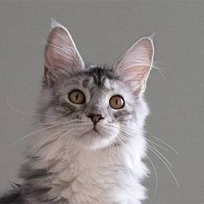Qualy femelle maine coon